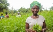Kadiatu Conteh (35) picking amaranth leaves in the community vegetable garden. She is part of the Tawopaneh (let's hold ourselves together) Women's Group.   The LAAN or Linking Agriculture, Natural Resource Management and Nutrition programme is run by Concern Worldwide and Welthungerhilfe   Photo: Jennifer Nolan / Concern Worldwide.