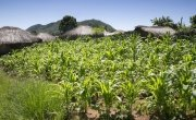 A field of maize grown by local farmer Stawa James in Kwitunji, Malawi. Photo: Eamon Timmins / Concern Worldwide.