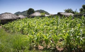 Maize growing in Mangochi, Malawi. Photo: Kieran McConville / Concern Worldwide.