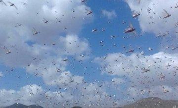Locust in Cara-Cad Village, Somalia. February 2020 Photo: Concern Worldwide