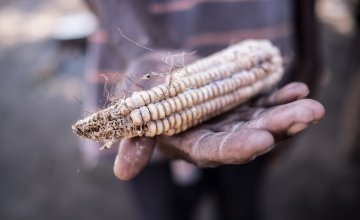 A hand holding a sheath of rotten maize