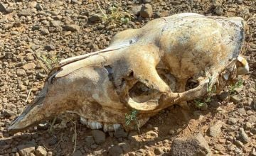 Skeletal remains of an animal due to drought