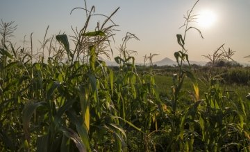A field of winter maize on the floodplains of the Shire river in Nsanje district, Malawi.