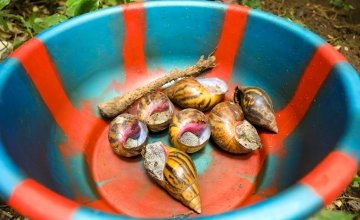 Wild edible snails taken off the forest floor by the Tawopaneh Women's Group, Sierra Leone