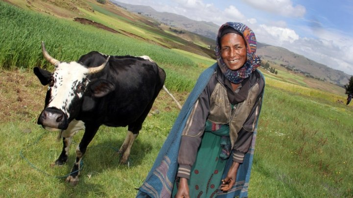 Taytu Mohammed Hamza walks her cow through the field in Ethiopia. Photo: Nick Spollin / Concern Worldwide