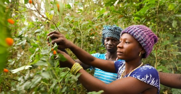 Adamsay and Fatmata picking 'Makrun' - orange wild fruits in the local forest. She is part of the Tawopaneh (let's hold ourselves together) Women's Group. Photo: Jennifer Nolan / Concern Worldwide.