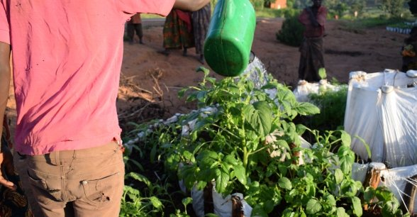 A man waters a kitchen garden in Busoni