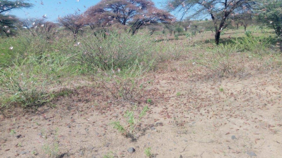 Locusts in Marsabit County, Kenya