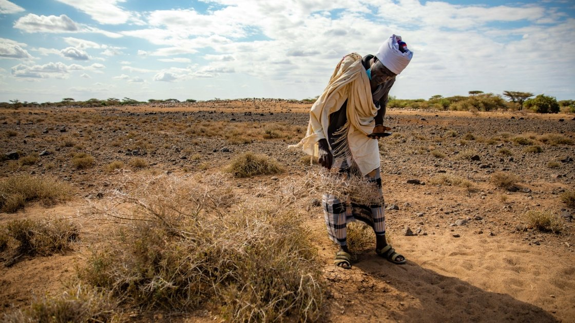 A man inspects a field of crops eaten by locusts