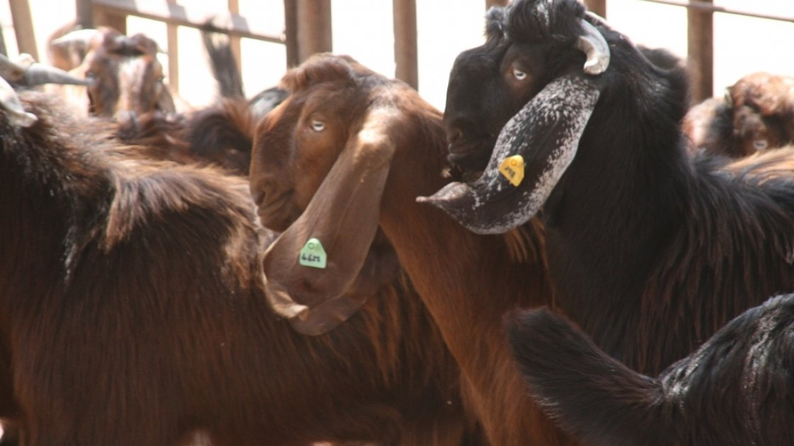 Shami goats in Sudan. Credit: Concern Worldwide