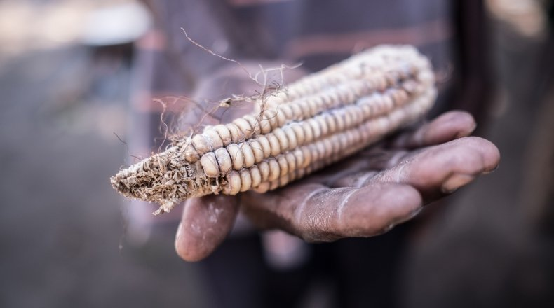 A hand holding a sheath of rotten maize