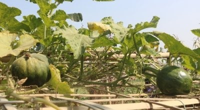 The top of a kitchen garden in Cox's Bazar, Bangladesh, the largest refugee camp in the world.